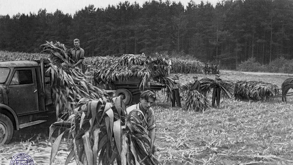 Corn harvest in 1955